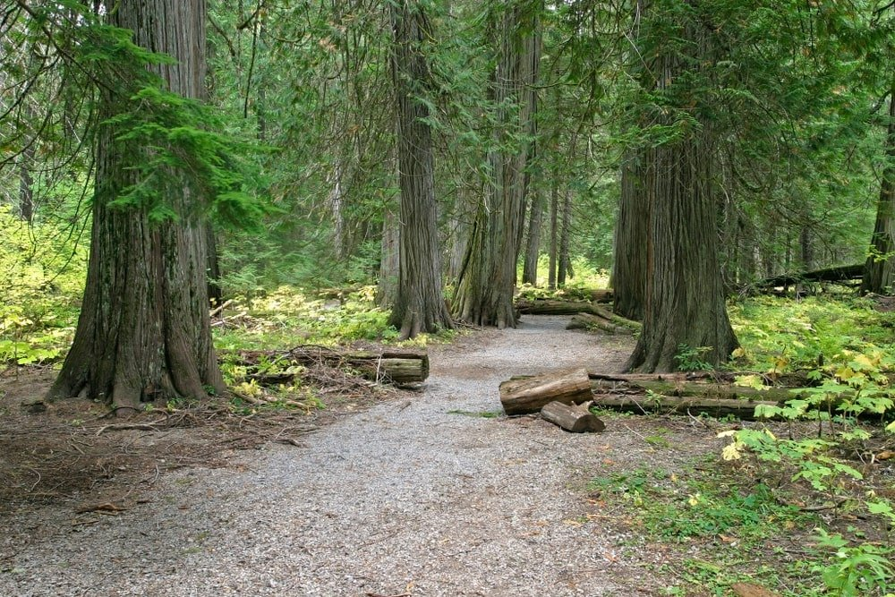 trunks of western red cedar trees growing alongisde dirt trailway