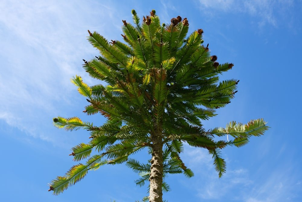 isolated wollemi pine tree crown in front of sunny blue sky