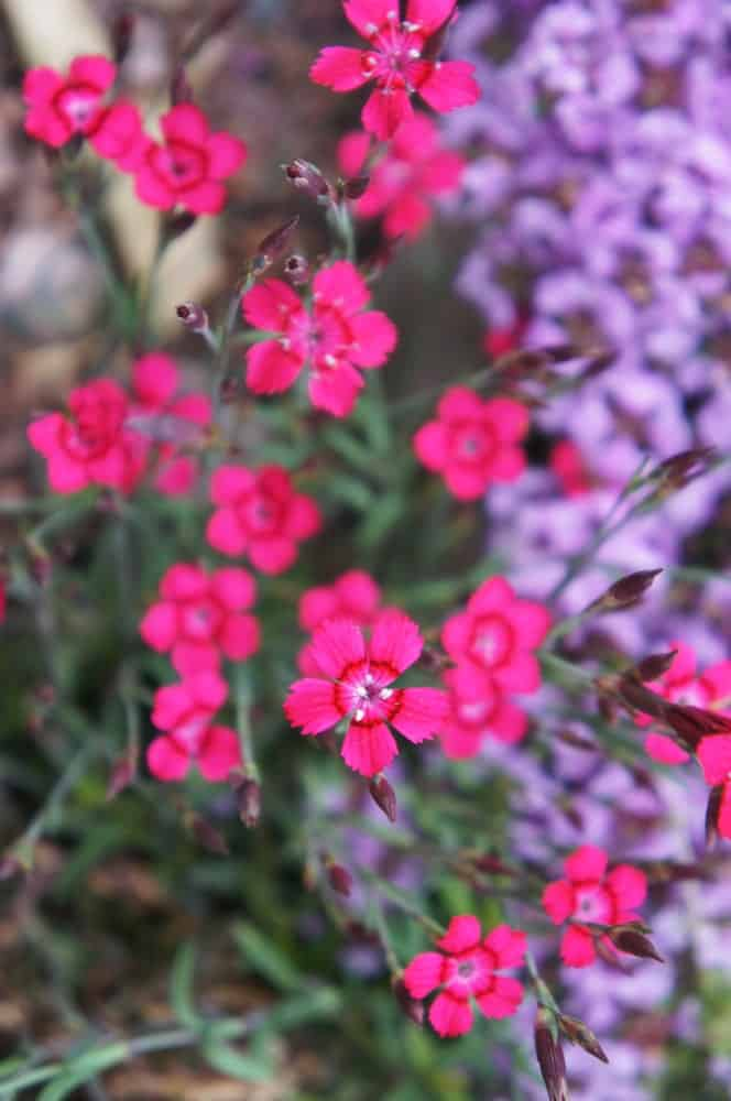 Red blooms of 'brilliant' variety in a garden