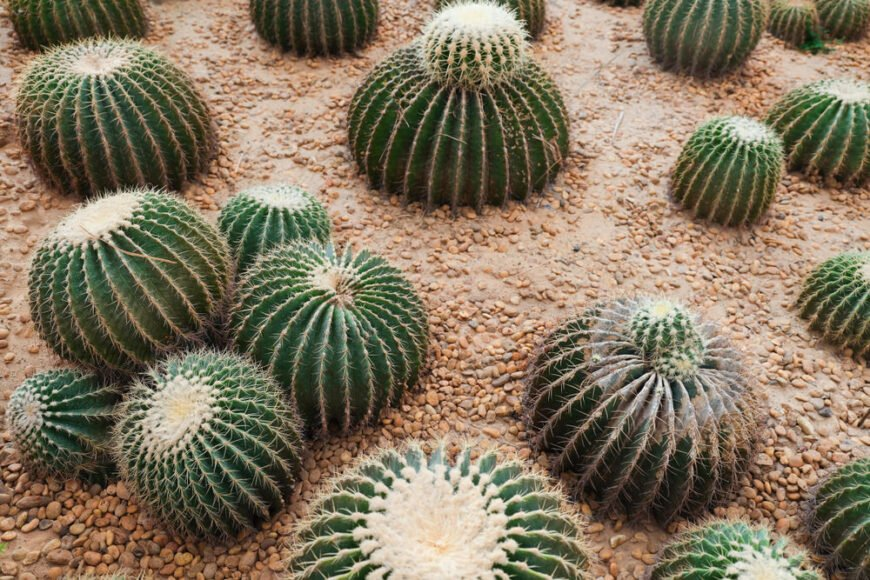Cacti in South America