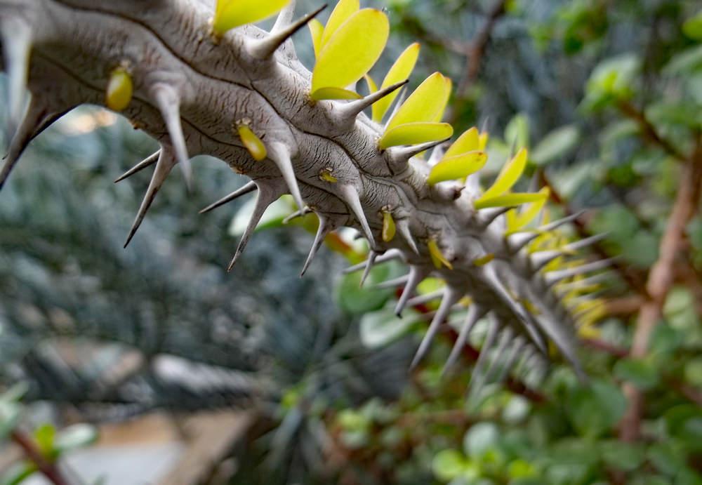 Madagascar Cactus