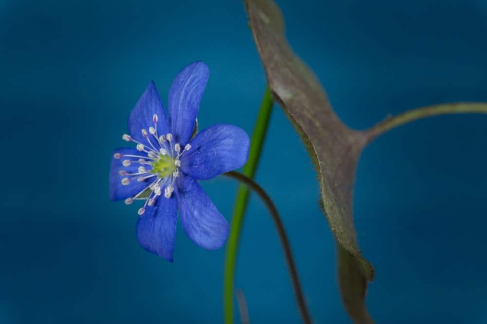 Hepatica nobilis in blue color; a variety of the Hepatica plant
