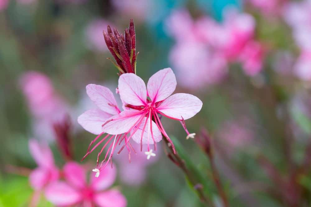 A vivid image of a pink gaura flower