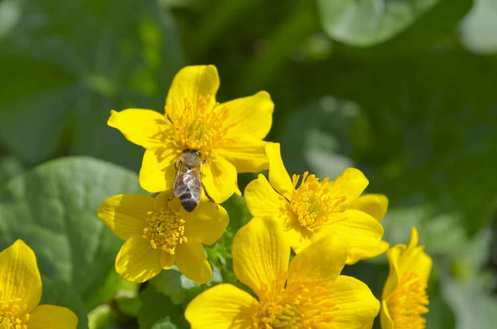 Lysimachia vulgaris and a bee