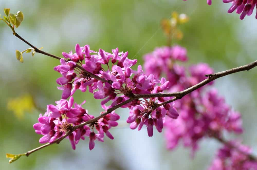 Flowers of the ace of hearts redbud tree