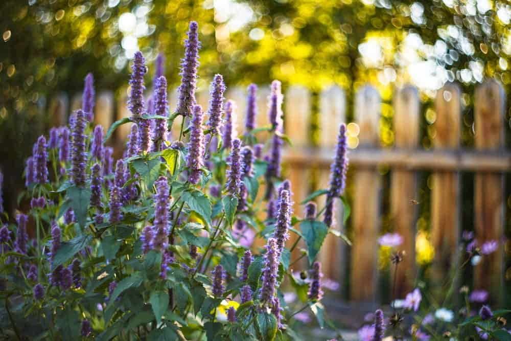 Agastache 'Black Adder'; a variety of the hyssop plant