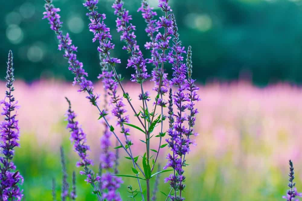 Agastache 'Blue Boa' (Anise Hyssop); a variety of the hyssop plant