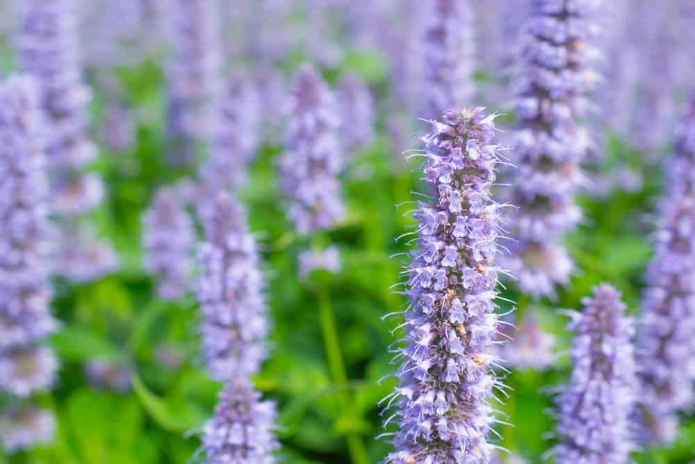 Agastache 'Blue Fortune' (Giant Hyssop); a variety of the hyssop plant