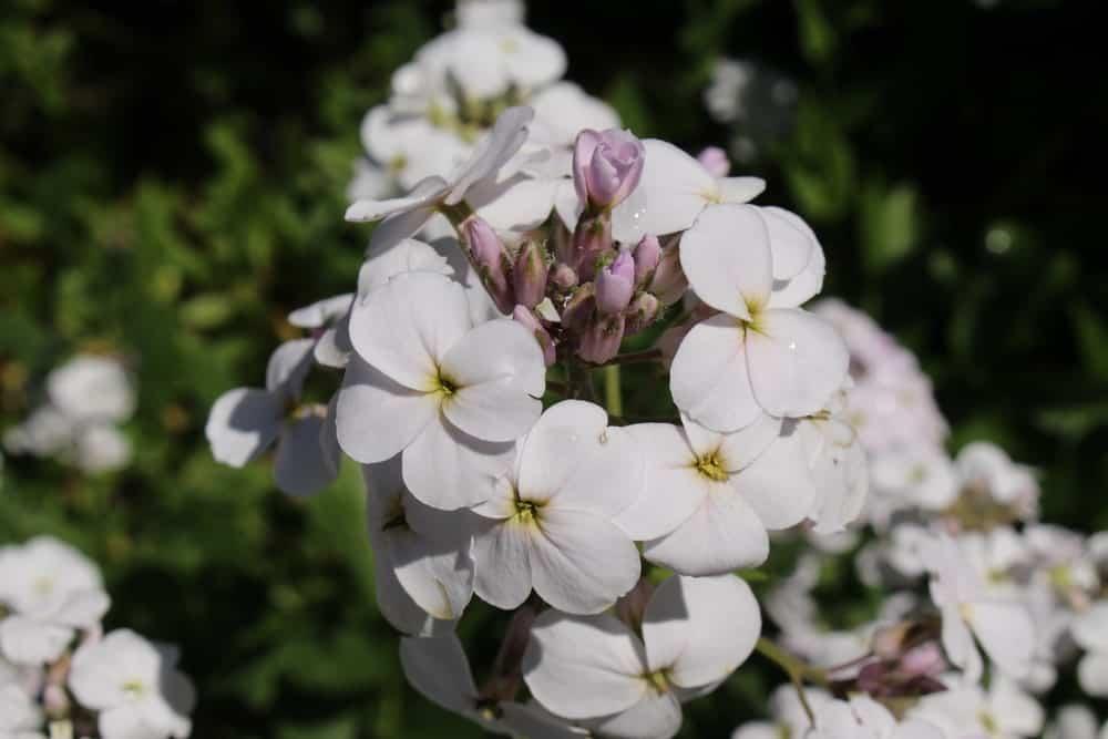 Albiflora Alba Plena; a variety of dame's Rocket plant