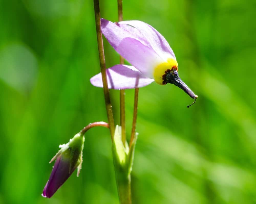 Dodecatheon Alpinum