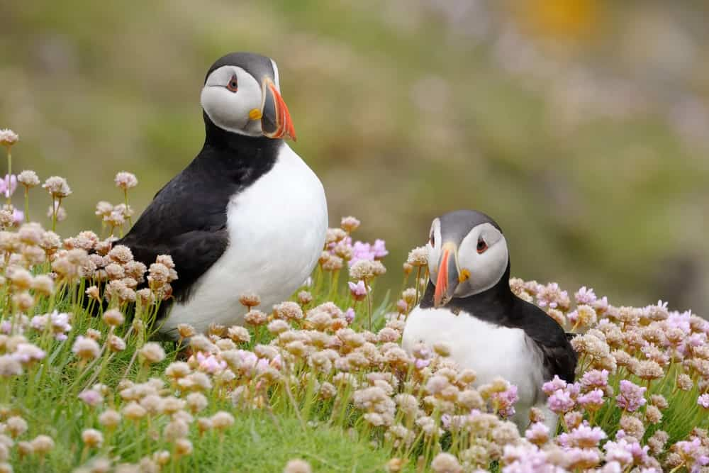 Atlantic puffins in pink thrift