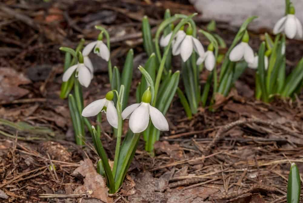 Snowdrop flowers growing on the soil