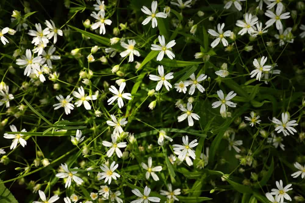 White-colored flowers of chickweed