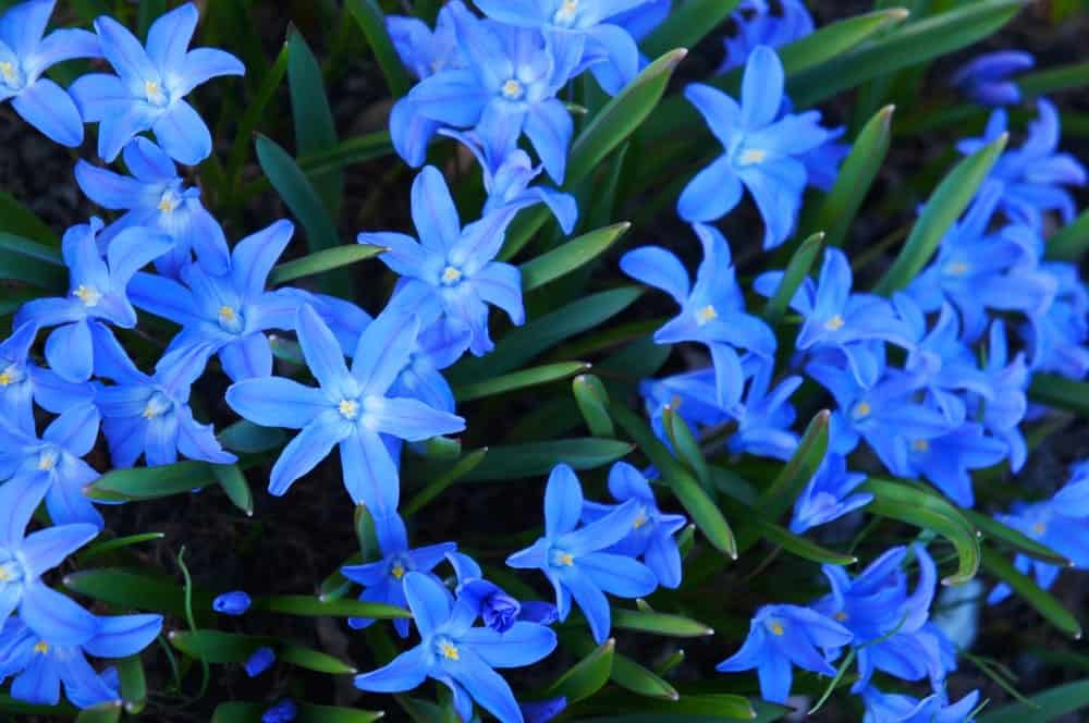 Blue flowers of Chionodoxa
