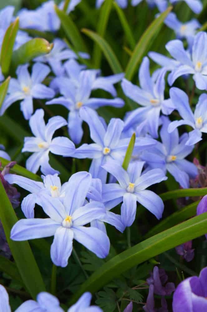 Violet-blue flowers