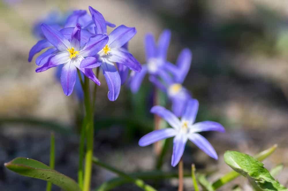 Lavender-blue colored flowers