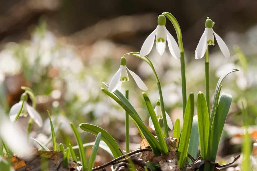Dropping petals of the common snowdrop