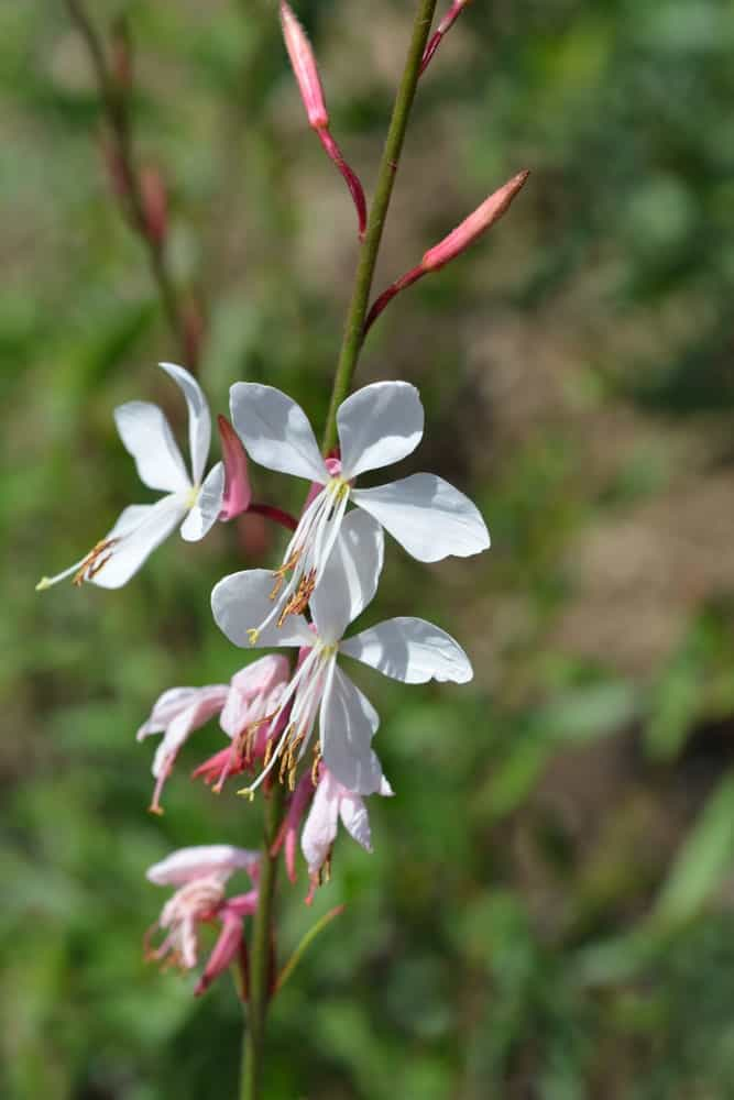 Corrie's gold; a variety of the gaura plant