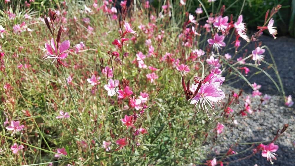 Crimson Butterflies; a variety of the gaura plant
