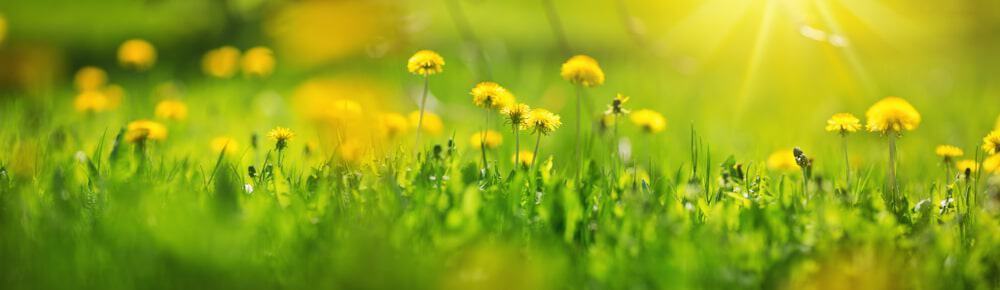 A field of yellow Dandelion flowers