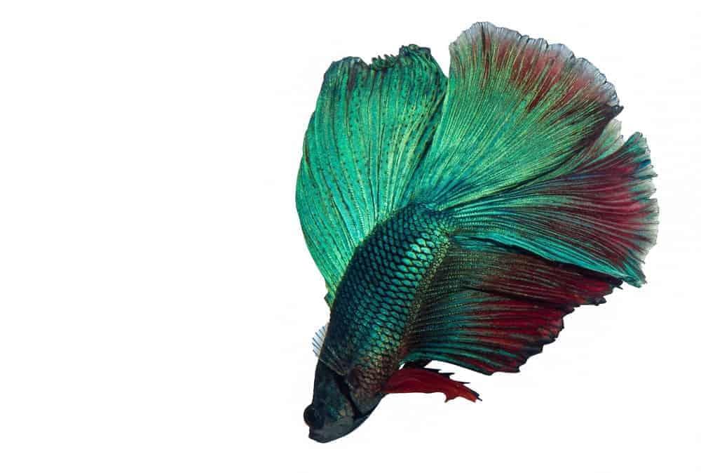 The Emerald Green Betta Fish