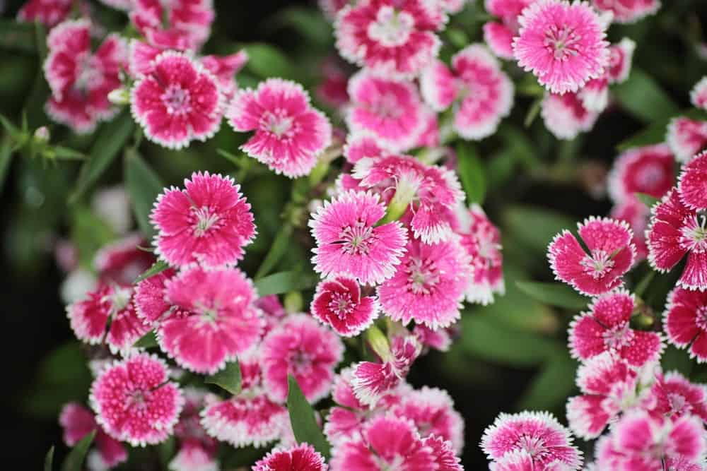 Attractive blossoms of the flashing light variety
