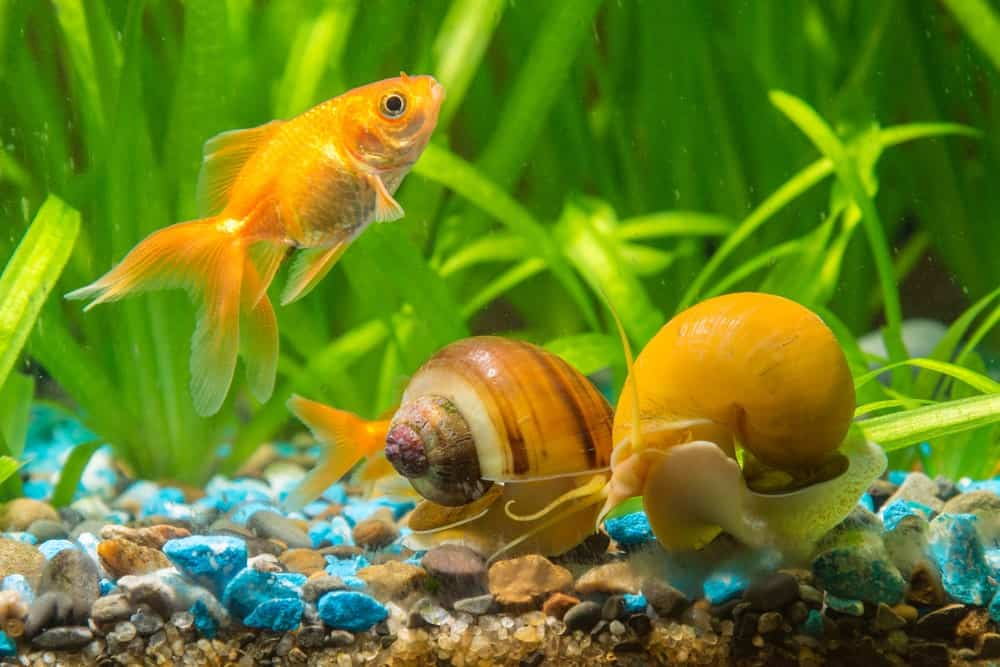 13 Different Types Of Aquarium Snails