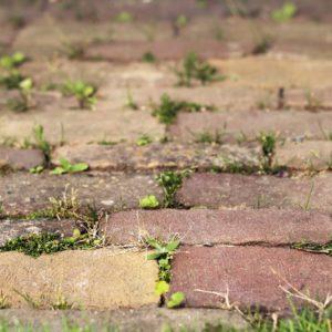 Garden weed growing between stones in a garden