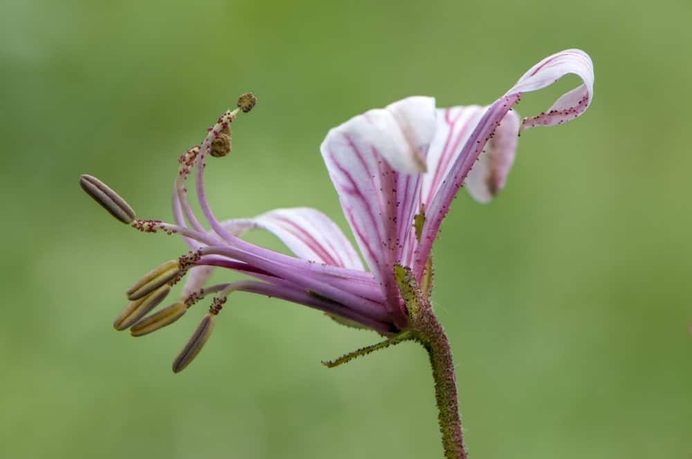 Dictamnus albus flower