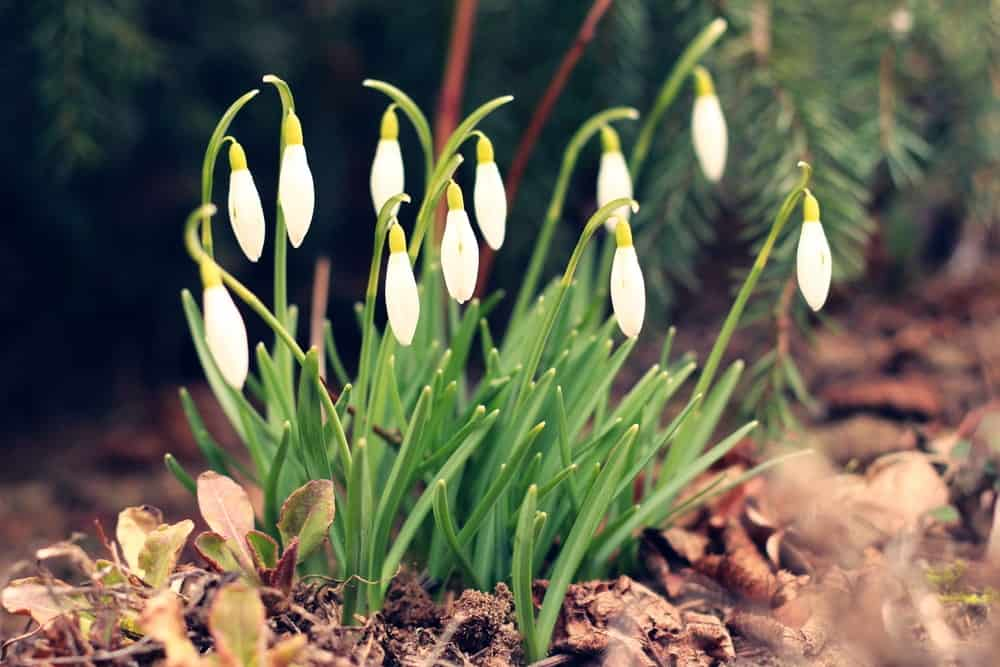 Clusters of snowdrop flowers