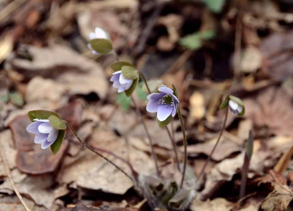 Hepatica americana 'Ashwood Marbles'; a variety of the Hepatica plant