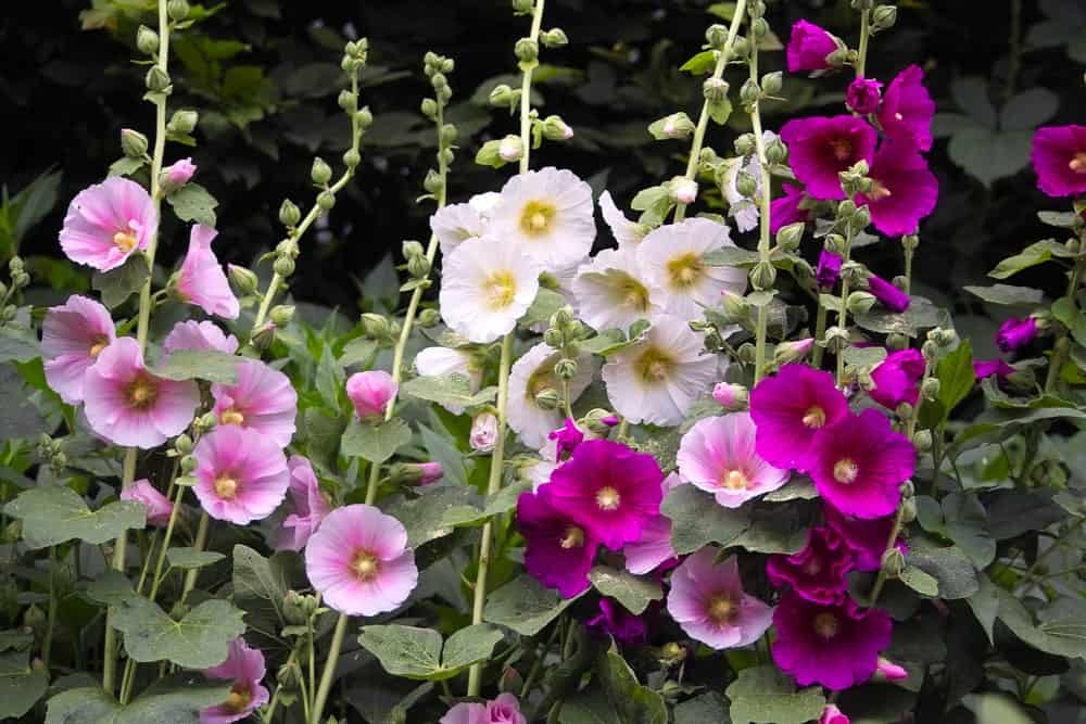 White, pink and purple blooms of Alcea rosea
