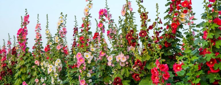 Different types of hollyhocks shining in the sun