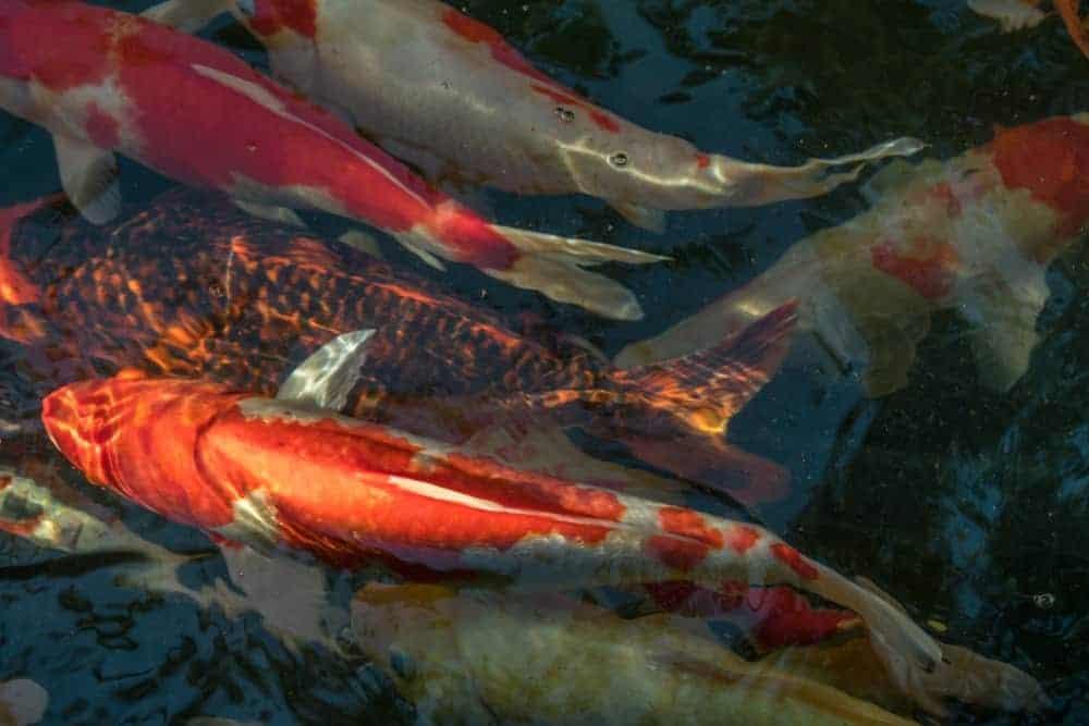 Koi pond with Kawarimono koi fish