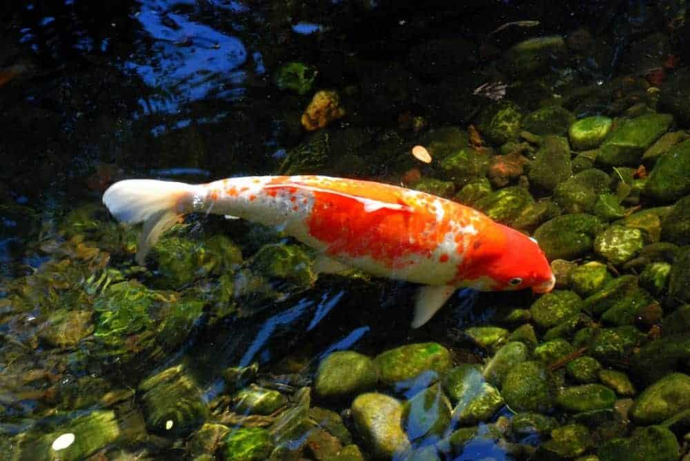 White and orange Kohaku koi fish