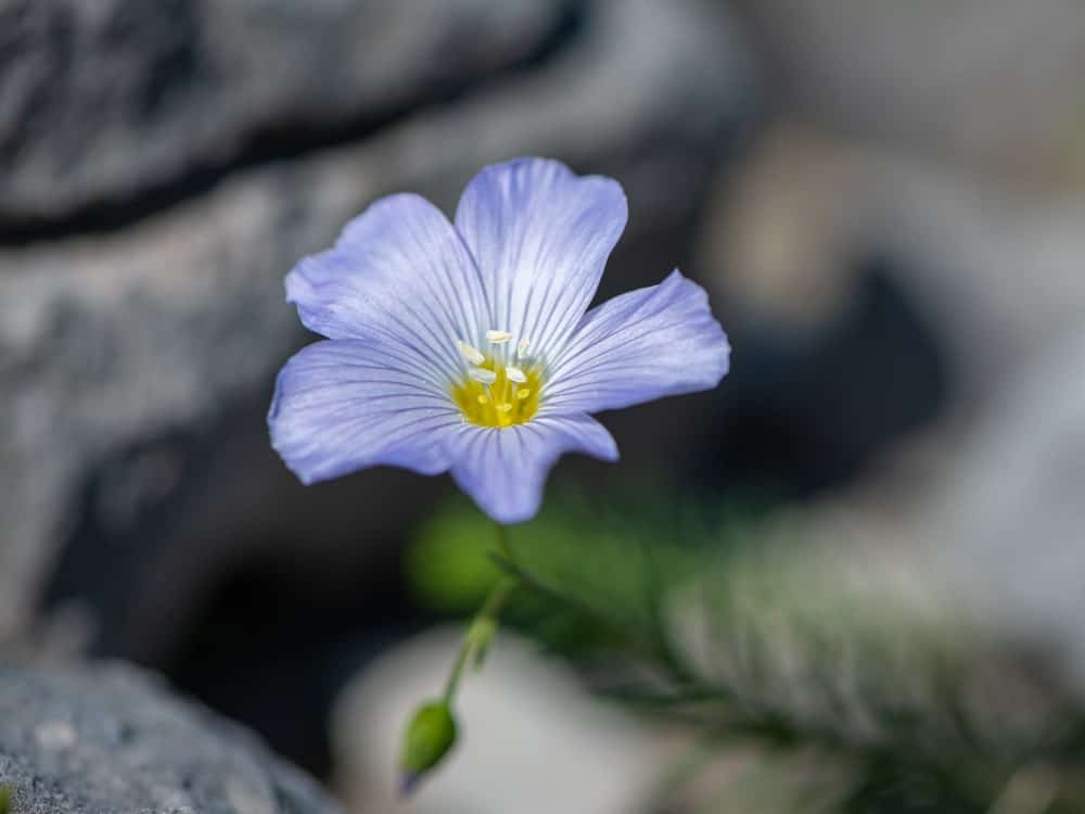 Blue flax flowers called Alpine