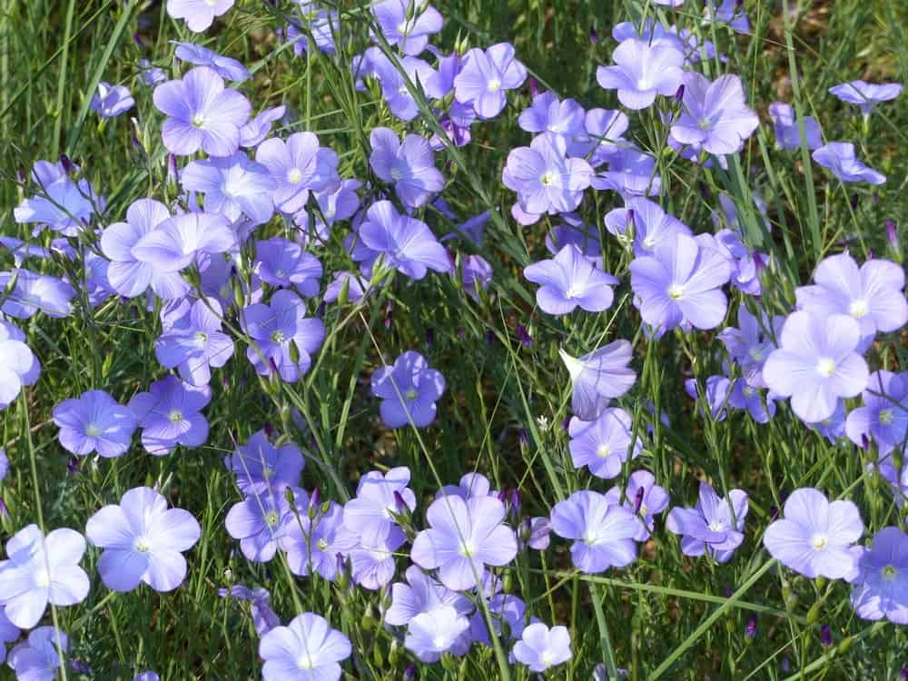 Perennial flax flowers