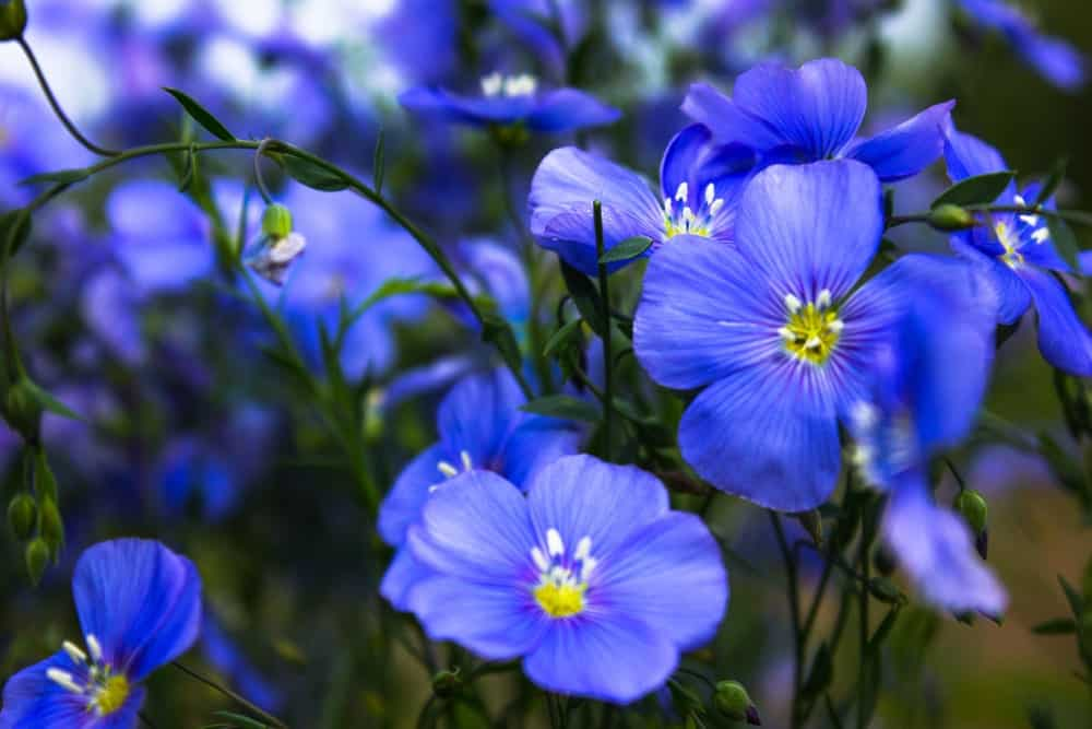 Appar Blue Flax