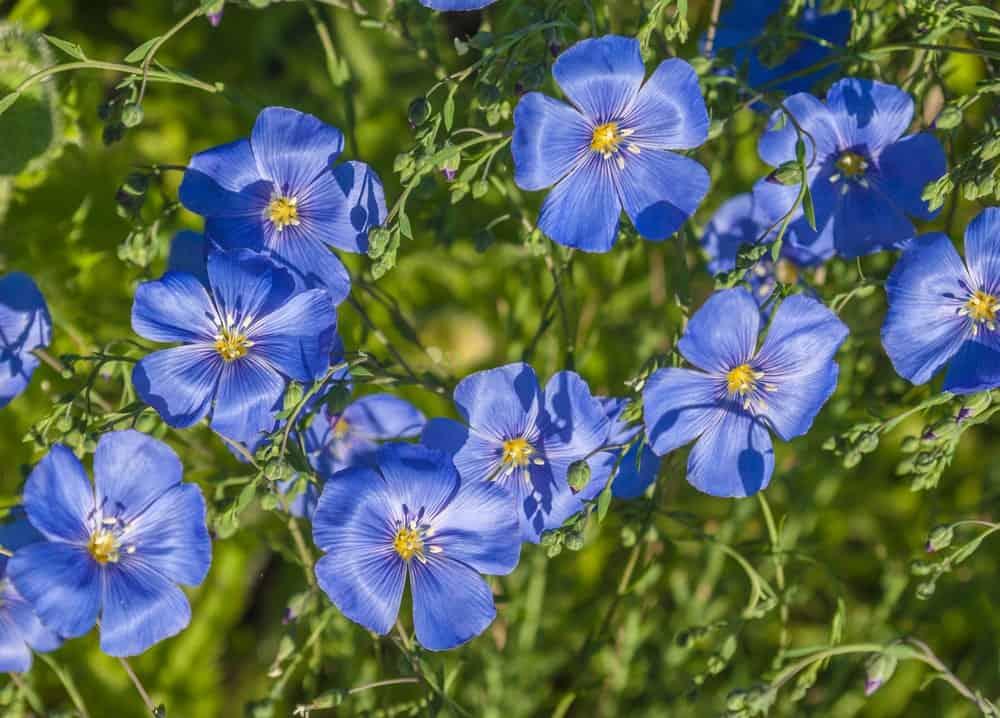 Blue Flax Sapphire