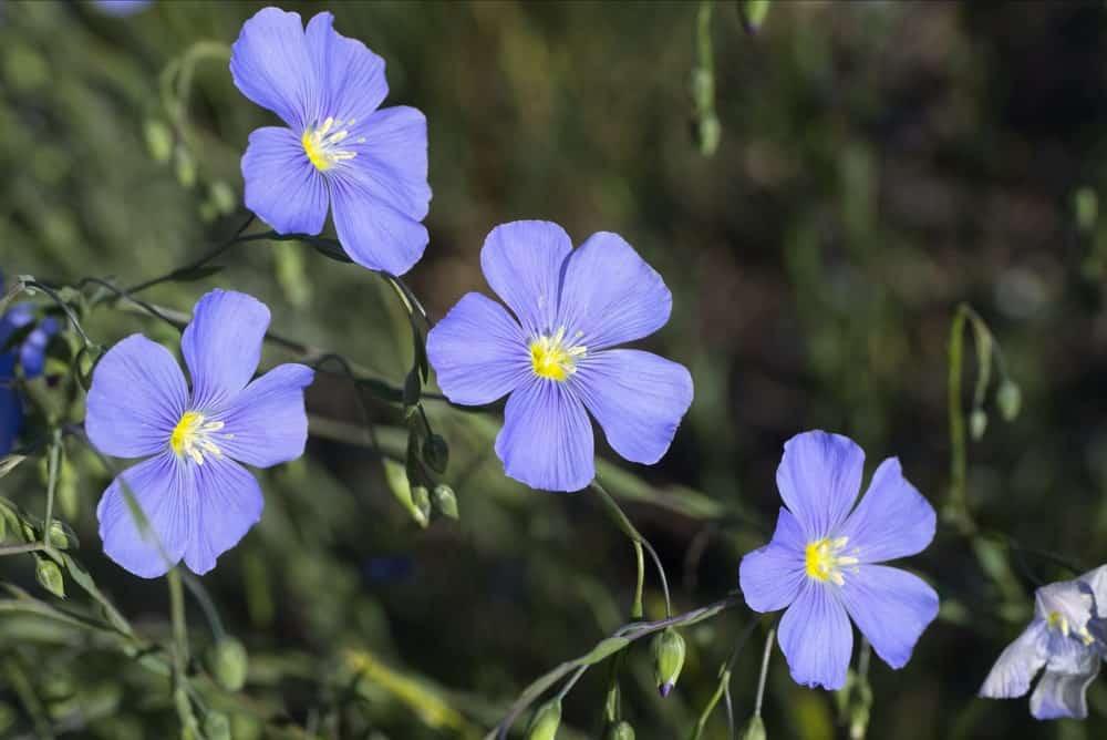 Prairie Flax flowers