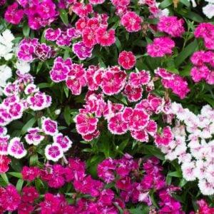 Different types of maiden pinks in a garden
