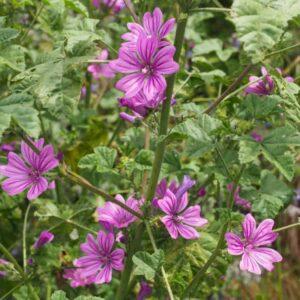 Malva plants in a garden