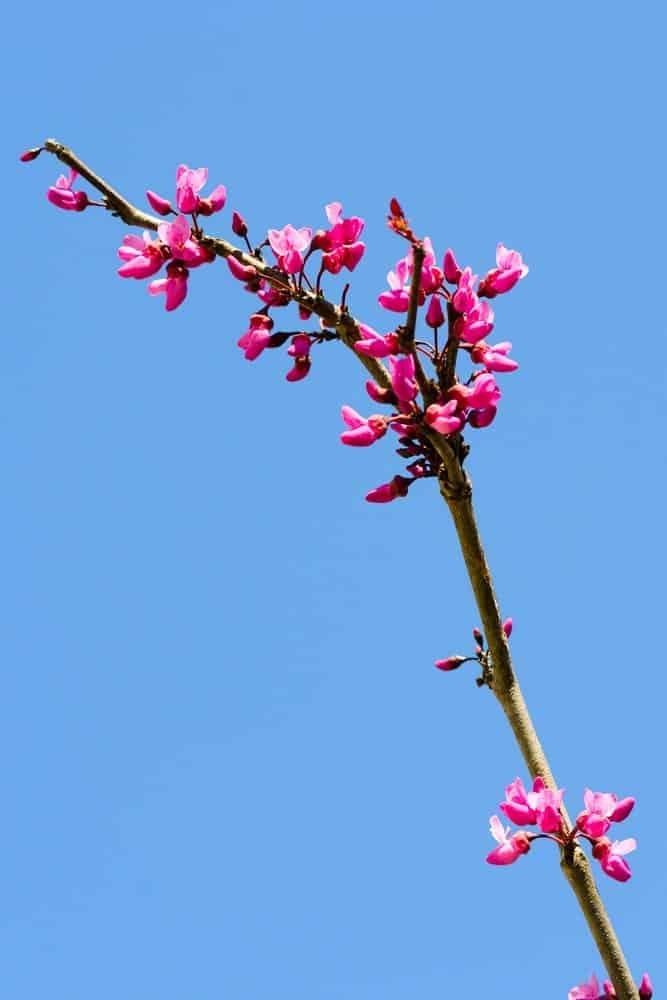 Full blooming flowers of the Merlot tree