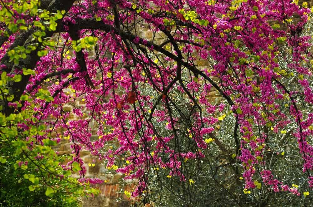 Springtime blossoms of the Mexican redbud