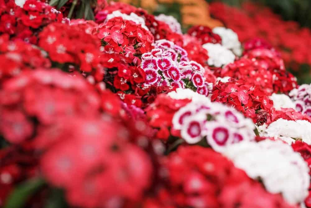 White, pink and rosy-red flowers