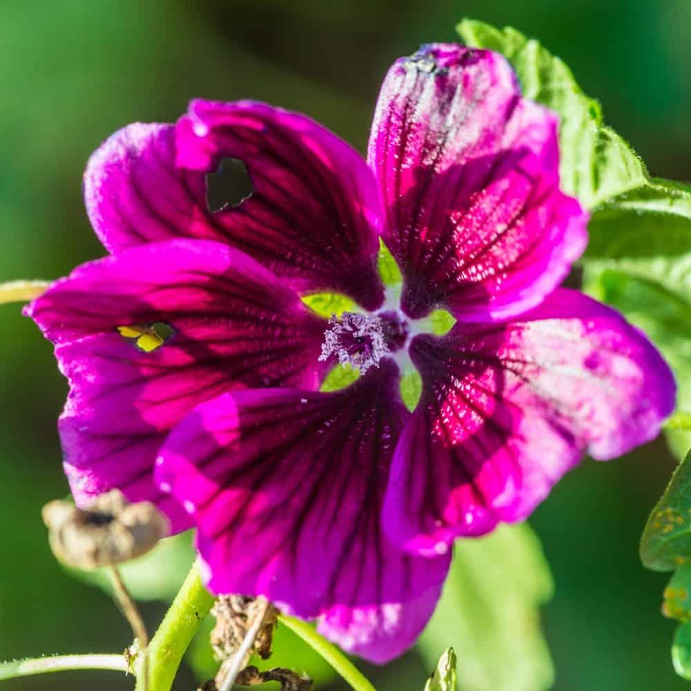 Mystic Merlin; a variety of the Malva plant