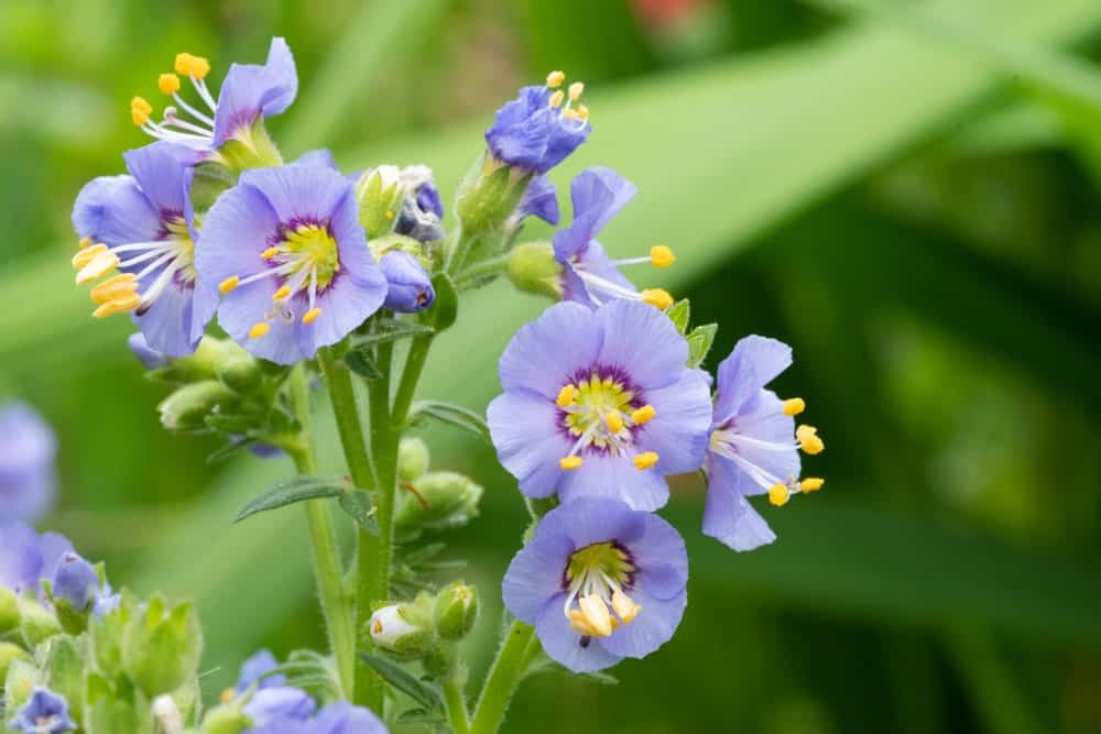 Northern Jacob's Ladder flowers