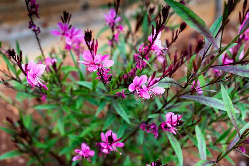 Passionate Rainbow; a variety of the gaura plant