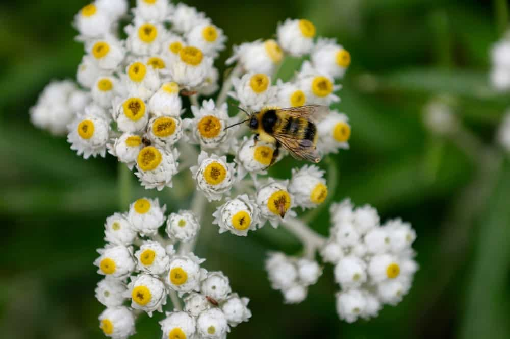 A vivid image of white pearly everlasting flowers