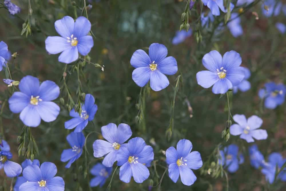 Lewis flax blue flowers